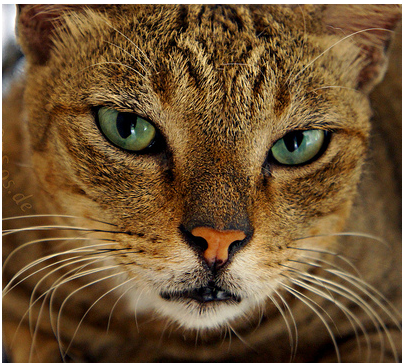 baleful green-eyed tabby